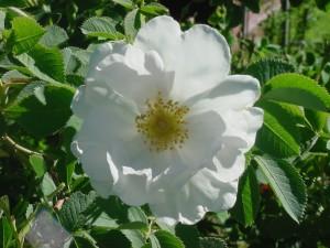 white-rose-york